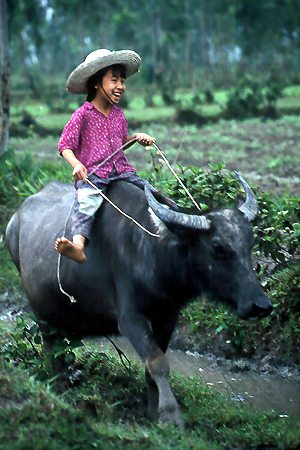 buffalo-vietnamese-culture4